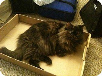 Domestic Mediumhair Cat for adoption in Saint Albans, West Virginia - Twinkie