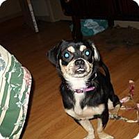 Adopt A Pet :: Puglsy - Glastonbury, CT