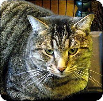 Domestic Shorthair Cat for adoption in Saranac Lake, New York - Vinny