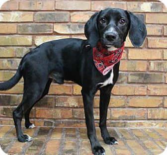 Beagle/Retriever (Unknown Type) Mix Dog for adoption in Benbrook, Texas - Elivs