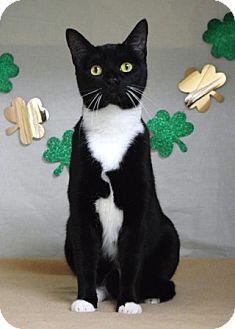 Domestic Shorthair Cat for adoption in Dublin, California - Jovie