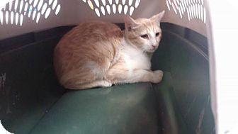 Domestic Shorthair Cat for adoption in Darlington, South Carolina - Peter