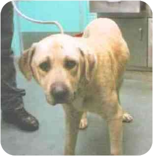 Labrador Retriever/Hound (Unknown Type) Mix Dog for adoption in New York, New York - Linus