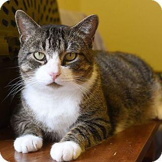 Domestic Shorthair Cat for adoption in Marietta, Georgia - Bandit