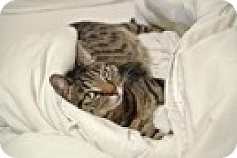 Domestic Shorthair Cat for adoption in Vancouver, British Columbia - Maemae