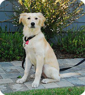 Golden Retriever Mix Puppy for adoption in San Diego, California - Winston
