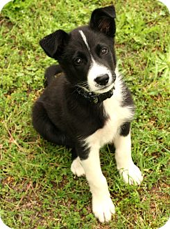 Border Collie Mix Puppy for adoption in McCormick, South Carolina - Zach