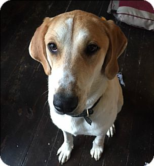 Great Pyrenees/Coonhound Mix Dog for adoption in Florence, Kentucky - Ru