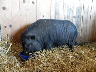 Pig (Potbellied) for adoption in Woodstock, Illinois - Hank