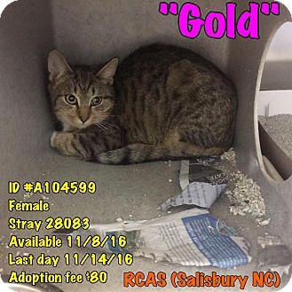 Domestic Shorthair Cat for adoption in Salisbury, North Carolina - Gold