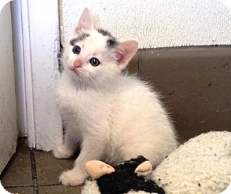 Domestic Mediumhair Kitten for adoption in Lathrop, California - Pippin