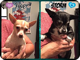 Chihuahua Mix Dog for adoption in St. Louis, Missouri - Storm & Doe - Bonded pair!!!