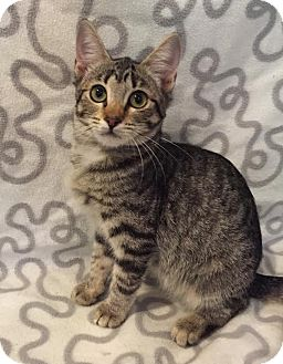Domestic Shorthair Cat for adoption in Westminster, California - Zebra