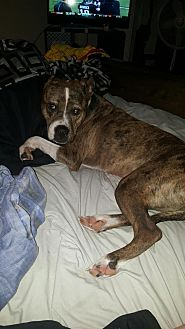 American Pit Bull Terrier Mix Dog for adoption in Kewanee, Illinois - Merle