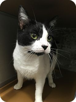 Domestic Shorthair Cat for adoption in Paducah, Kentucky - Sparrow