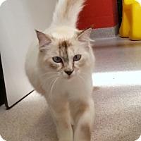 Adopt A Pet :: Powderpuff - Sarasota, FL