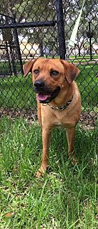 Mountain Cur Mix Dog for adoption in Sanford, Florida - Fred  *F* 'A BONDED PAIR' with Ginger