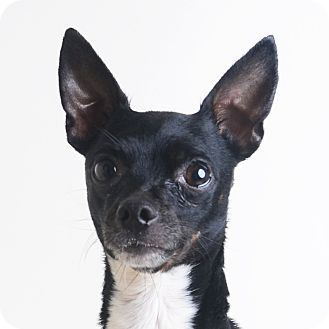 Mixed Breed (Small)/Chihuahua Mix Dog for adoption in Wilmington, Delaware - Andre
