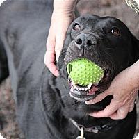 Adopt A Pet :: Midnight - Duluth, MN