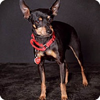 Adopt A Pet :: Cricket - Van Nuys, CA