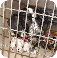Dalmatian Puppy for adoption in Mandeville Canyon, California - Samantha 2