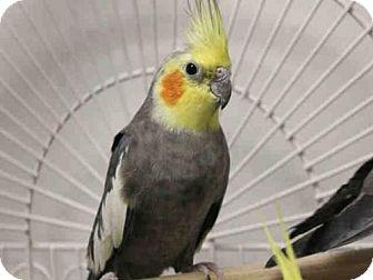 Cockatiel for adoption in Brewster, Massachusetts - APOLLO