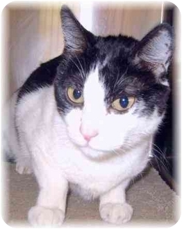 Domestic Shorthair Cat for adoption in Grass Valley, California - Minnie
