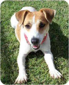 Jack Russell Terrier Dog for adoption in Phoenix, Arizona - TATER