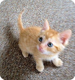 Domestic Mediumhair Kitten for adoption in Orlando, Florida - Orange