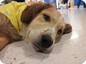 Golden Retriever Mix Puppy for adoption in Houston, Texas - Saydie (wow!)