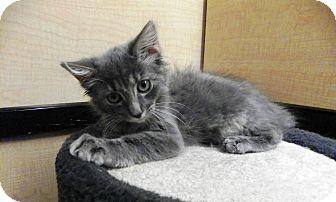 Domestic Longhair Kitten for adoption in Riverside, California - Mia
