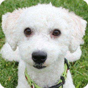 Bichon Frise Mix Dog for adoption in La Costa, California - Dodger
