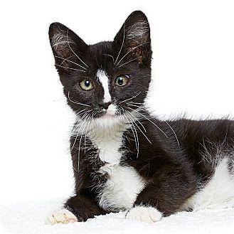 Domestic Shorthair Kitten for adoption in Burbank, California - Frank