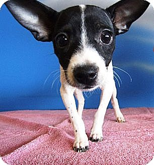 Rat Terrier/Chihuahua Mix Puppy for adoption in Kalamazoo, Michigan - Eleanor - Jackie