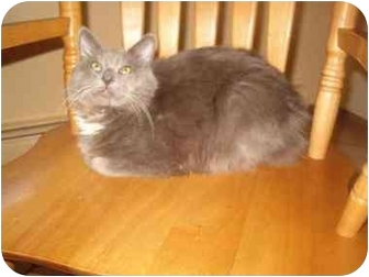 Domestic Mediumhair Kitten for adoption in Bedford, Massachusetts - Franco