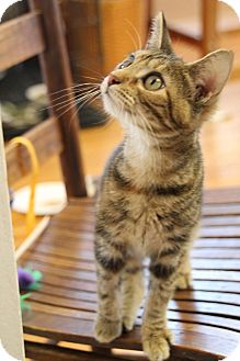 Domestic Shorthair Kitten for adoption in Chattanooga, Tennessee - Doodlebug