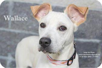 Whippet Mix Dog for adoption in Orangeburg, South Carolina - Wallace