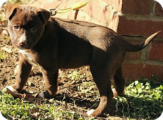 Labrador Retriever/Boxer Mix Puppy for adoption in Hagerstown, Maryland - Raleigh