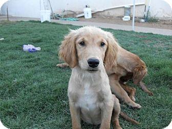 Golden Retriever Mix Dog for adoption in El Cajon, California - Scamp
