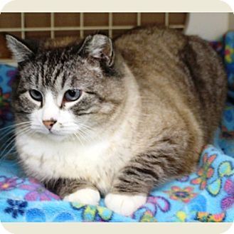Siamese Cat for adoption in Midvale, Utah - Teaser