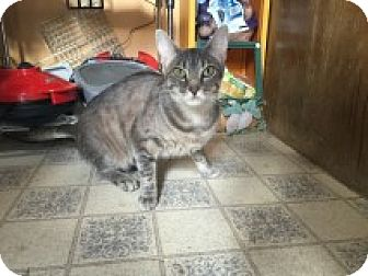 Abyssinian Cat for adoption in Palatine, Illinois - Mila