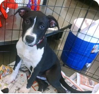 American Staffordshire Terrier Mix Puppy for adoption in Cat Spring, Texas - Domino