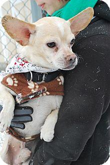 Chihuahua Mix Dog for adoption in Berea, Ohio - Ricardo