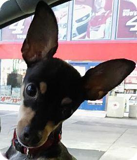 Miniature Pinscher/Dachshund Mix Puppy for adoption in cupertino, California - Baci