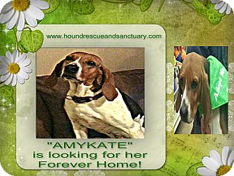 Treeing Walker Coonhound Dog for adoption in Findlay, Ohio - AMY KATE