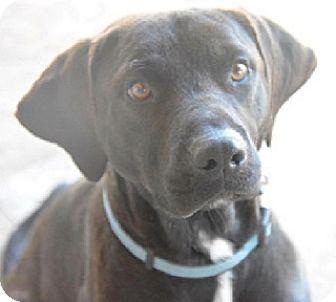 Labrador Retriever Mix Dog for adoption in Austin, Texas - Clyde