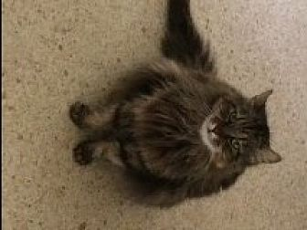 Domestic Longhair Cat for adoption in Naples, Florida - Mamacita