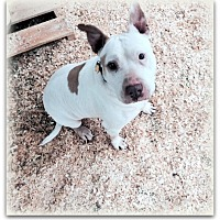 American Bulldog Mix Dog for adoption in Baxter, Tennessee - Sargent