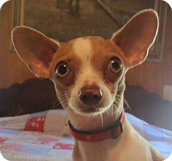 Chihuahua Dog for adoption in Waldron, Arkansas - LEMUR BARKLEY