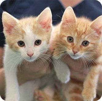 Domestic Shorthair Kitten for adoption in South Haven, Michigan - Grumpy (left)